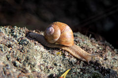 Snail on the black background Stock Images
