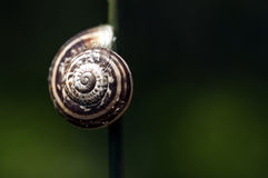 Snail on blade of grass. Snail shell clinging to green grass blade Stock Image