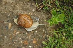 Snail blazer Stock Photography