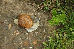 Snail blazer Stock Photography