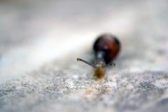 Snail on Blur Royalty Free Stock Photo