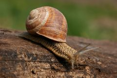 Snail on board Royalty Free Stock Image