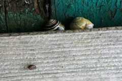 Snail on a board Royalty Free Stock Photo
