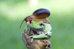 Snail on body tree frog, bestfrien animal, tree frog. Tree frog and sanil best friend, amphibian stock images