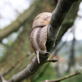Snail on the bough Stock Images