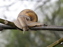 Snail on the bough Stock Photo