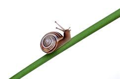 Snail on a branch Stock Photo