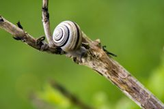 Snail on branch Stock Image