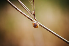 Snail. On a branch with blue background Royalty Free Stock Photo