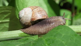 Snail on a branch stock footage