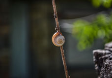 Snail on a branch Royalty Free Stock Photography