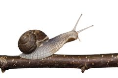 Snail on the branch toil with clipping path Stock Images