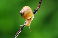 The snail on the branch Royalty Free Stock Photography