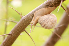Snail on the branch of tree Royalty Free Stock Image