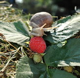 Snail breakfast. A snail eating a raspberry Royalty Free Stock Photos