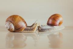 Snail, Bright, shell, sticky. Mollusks grass  macro house, wet speedingslides snail crawling, the grape snail Stock Photos