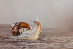 Snail, Bright, shell, sticky. Mollusks grass macro house, wet speedingslides snail crawling, the grape snail stock photo
