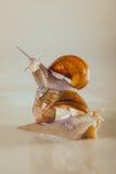 Snail, Bright, shell, sticky Royalty Free Stock Image