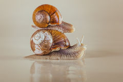 Snail, Bright, shell, sticky. Mollusks grass slime, the grape snail Bright shell creeps royalty free stock photo