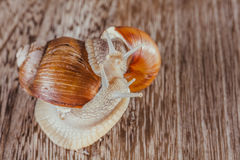 Snail, Bright, shell, sticky. Mollusks grass slime, the grape snail Bright shell creeps royalty free stock images