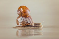 Snail, Bright, shell, sticky. Mollusks grass slime, the grape snail Bright shell creeps stock photo