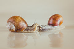 Snail, Bright, shell, sticky. Mollusks grass slime, the grape snail Bright shell creeps stock photography