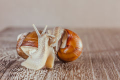 Snail, Bright, shell, sticky. Mollusks grass slime, the grape snail Bright shell creeps stock images