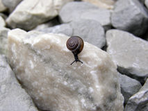 Snail with brown shell Royalty Free Stock Photo