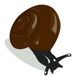 Snail with brown shell Stock Photo