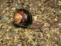 Snail. With brown shell after rain Stock Image