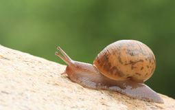 Snail. With brown shell on rock Stock Image