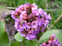 The snail and the bug on the bergenia plant. Rare flower Royalty Free Stock Photo