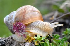 Snail of Burgundy Royalty Free Stock Image