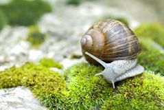 Snail of Burgundy Stock Photos