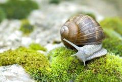 Snail of Burgundy Stock Photos