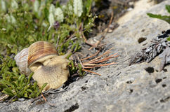 Snail of Burgundy in the french Alps Stock Photo