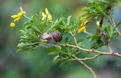 Snail in a bush. A snail climbs high exploring a bush Stock Photography