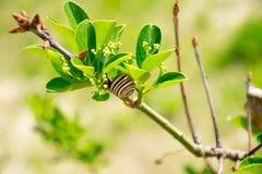 Snail on the bush Stock Photography