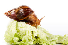 Snail on cabbage leaves. On a white background Stock Image