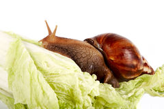 Snail on cabbage leaves. The snail creeps on cabbage leaves on a white background Royalty Free Stock Image