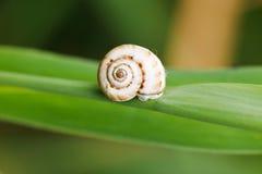 Snail on cane leaf Stock Images