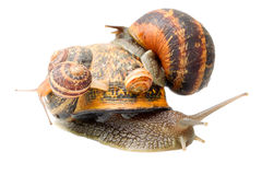 Snail Caring His Numerous Family Stock Photo
