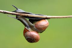 Snail (cepaea nemoralis). Two snails, being all over each other, isolated on green background royalty free stock photo