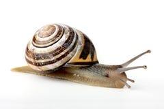 Snail (cepaea nemoralis). Isolated on white background royalty free stock photos