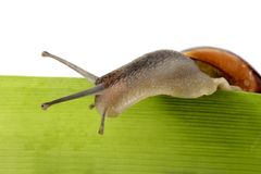 Snail (cepaea nemoralis). A snail, looking to the right, isolated on a white background royalty free stock photo