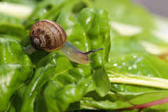 Snail on Chard Stock Photography