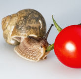 Snail on cherry tomatoes 01. The intimate connection of snails and tomatoes Royalty Free Stock Photography