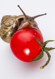 Snail on cherry tomatoes 03. The intimate connection of snails and tomatoes Stock Photo