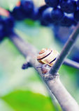 The snail on chokeberry. Royalty Free Stock Image