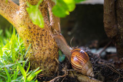 A snail clamber up to the tree at garden Royalty Free Stock Images